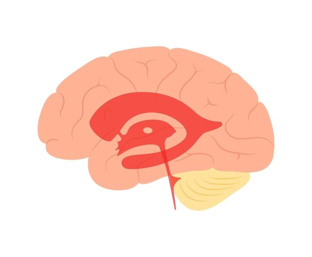 Liquidi cerebrospinali nel cervello. anatomia del sistema ventricolare. illustrazione vettoriale di ventricoli cerebrali