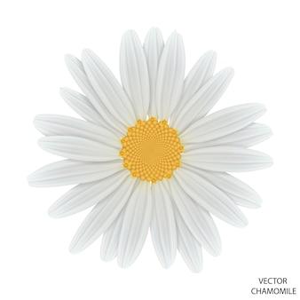 Fiore di camomilla su bianco, vista dall'alto
