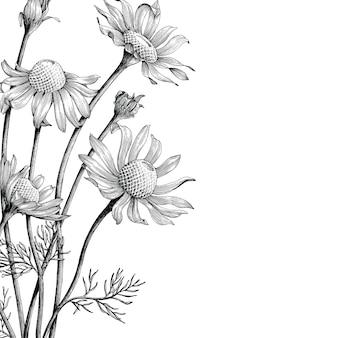 Annata di tiraggio della mano dei fiori della camomilla isolata su fondo bianco