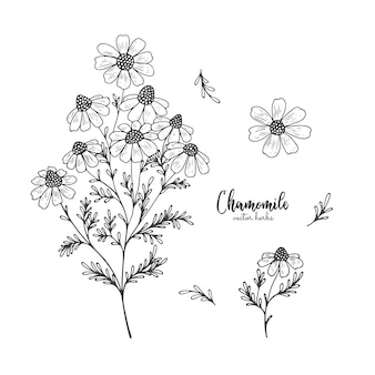 Fiore selvaggio del campo della camomilla isolato