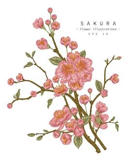 Illustrazioni botaniche disegnate a mano del fiore del fiore di ciliegia.
