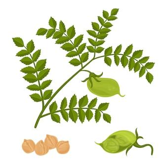 Fagioli di ceci e illustrazione della pianta
