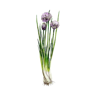 Erba cipollina rami verdi freschi con fiori e foglie. illustrazione disegnata a mano di colore di tratteggio di vettore dell'annata isolata su fondo bianco
