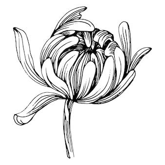 Crisantemo a mano disegno. antica incisione vintage illustrazione.