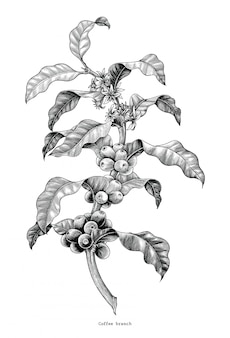 Mano del ramo del caffè che disegna clipart d'annata isolata su fondo bianco