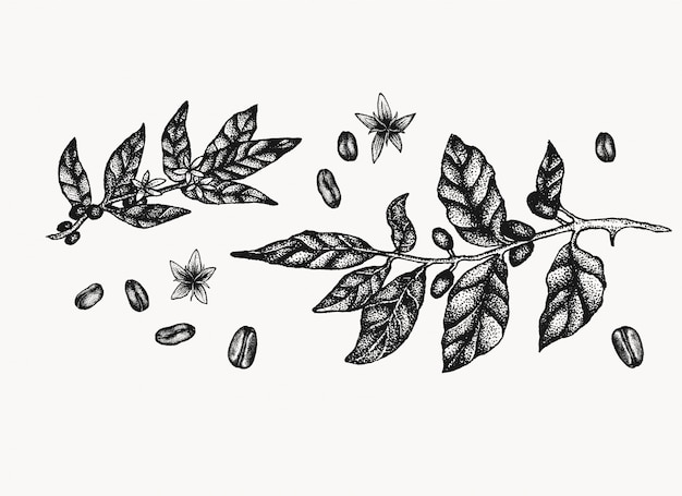 Illustrazioni di piante di caffè.