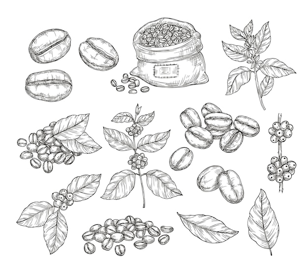 Schizzo di piante di caffè. fagioli neri vintage, gustosi grani di arabica robusta. ramo e foglia disegnati a mano isolati, elementi di vettore della caffetteria della caffetteria. schizzo disegno foglia incisione illustrazione caffeina