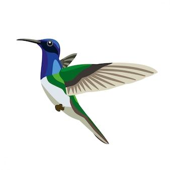 Colibri su bianco