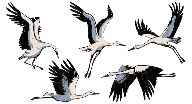 Collezione di belle cicogne volanti isolate in bianco. schizzi colorati di gru di uccelli selvatici. illustrazioni vettoriali disegnate a mano. insieme di elementi vintage per il design.
