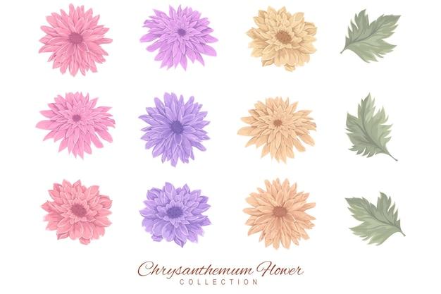 Collezione di fiori e foglie di crisantemo colorati
