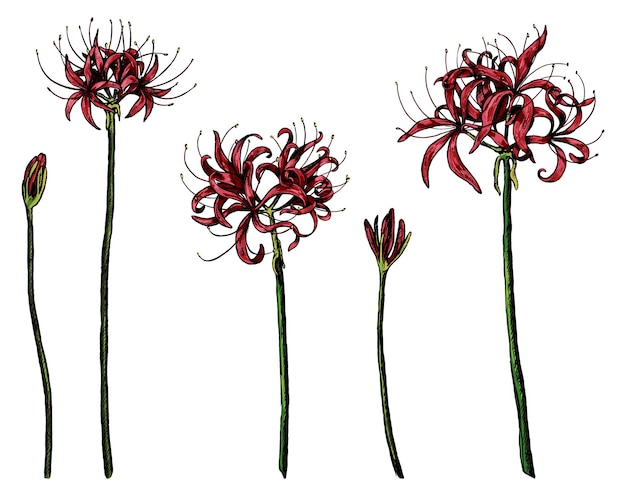 Collezione di piante esotiche giglio di ragno. insieme dei fiori di lycoris. schizzi botanici isolati su bianco. illustrazione vettoriale disegnato a mano. elementi colorati per il design.