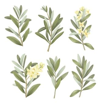 Raccolta di rami di ulivo verdi disegnati a mano