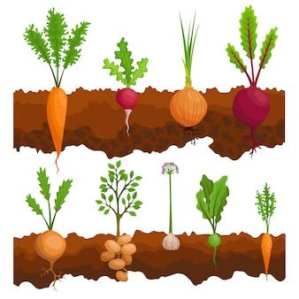 Raccolta se le verdure che crescono nel terreno. piante che mostrano la struttura delle radici sotto il livello del suolo. cibo biologico e sano. banner di orto. poster con verdure di radice.