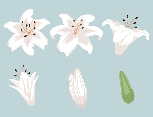 La raccolta del set di fiori di giglio.