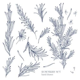 Raccolta di disegni monocromatici di piante di rosmarino con fiori isolati su bianco