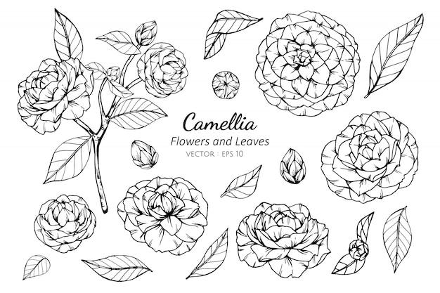 Insieme della raccolta del fiore e delle foglie della camelia che disegna illustrazione.