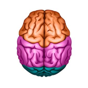 Cervello umano colorato diviso in aree vista dall'alto da vicino