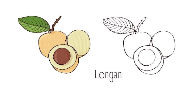 Disegni di contorno colorati e monocromatici di longan intero e tagliato isolato su bianco.