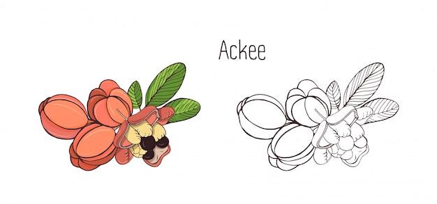 Disegni colorati e monocromatici di interi e divisi ackee con foglie. frutti esotici commestibili maturi deliziosi della pianta tropicale disegnati a mano nello stile elegante. illustrazione botanica.