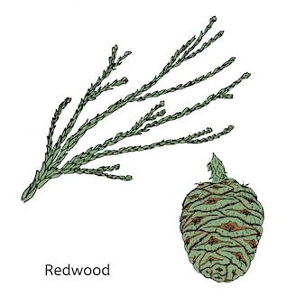 Redwood disegno colorato o concetto di sequoia