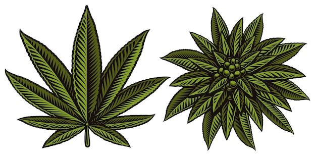 Illustrazione colorata di foglie di cannabis su sfondo bianco.