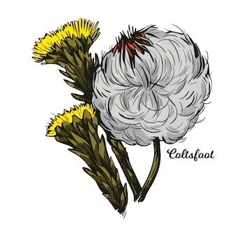 Coltsfoot, tosse, farfarae folium leaf, foalswort. tussilago farfara fiori gialli usati in cosmesi. erba per il trattamento del danno epatico e del cancro, medicina alternativa.