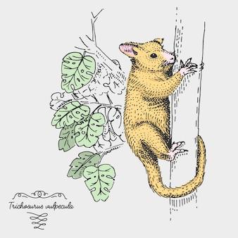 Common brushtail possum trichosurus vulpecula incisa