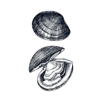 Illustrazioni di vongole cotte atlantiche. molluschi commestibili. elemento ristorante di crostacei e frutti di mare. schizzo di vongole di mare disegnati a mano su priorità bassa bianca.