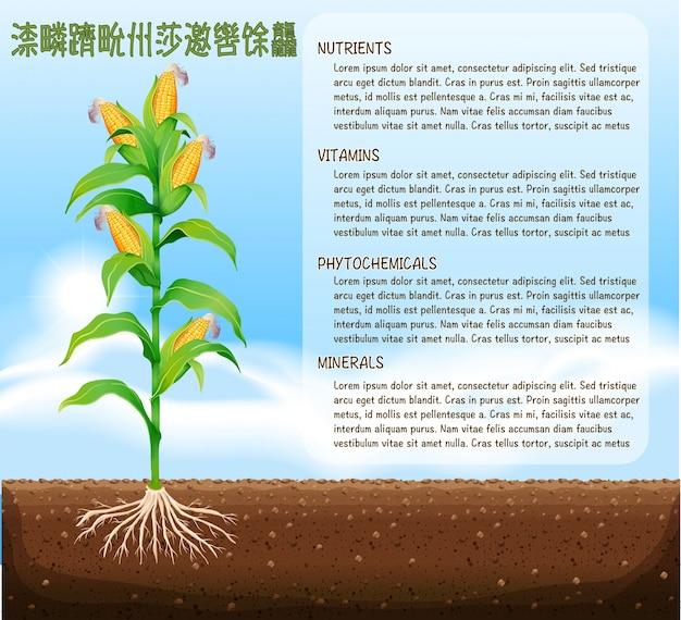 Albero di mais e disegno del testo