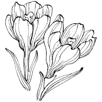 Fiore di croco, incisione vintage illustration engraving