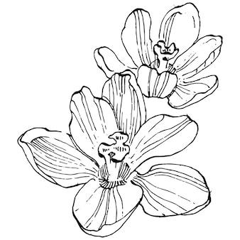 Crocus fiore schizzo illustrazione isolato linea arte dello zafferano. simpatico fiore disegnato a mano con contorno nero e aereo bianco