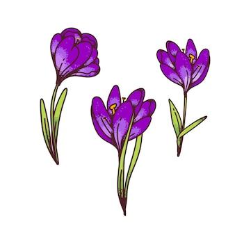 Crocus lilla zafferano fiori primule primaverili impostato per biglietto di auguri di design. illustrazione di schizzo di contorno