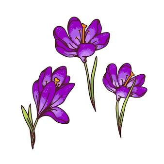 Crocus fiori viola primule primaverili impostato per biglietto di auguri di design. illustrazione di schizzo di contorno