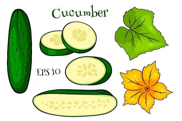 Insieme del cetriolo. cetrioli freschi, spicchi, mezzo cetriolo, fiori e foglie. in stile cartone animato. illustrazione vettoriale per design e decorazione.
