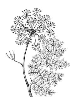 Erbe aromatiche - finocchio - illustrazione d'epoca.