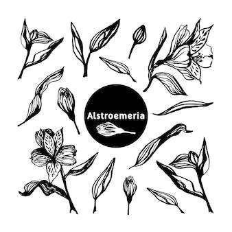 Insieme di fioritura di alstroemeria realistico disegnato a mano sveglio. fiori primaverili tradizionali in stile inchiostro per decorazioni e allestimenti di nozze.