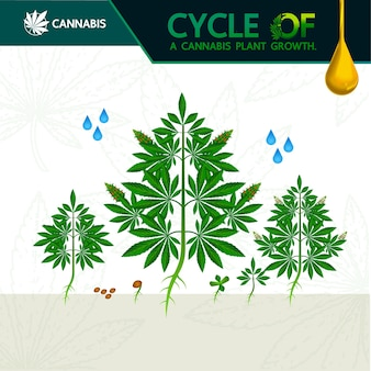 Ciclo di crescita di una pianta di cannabis.
