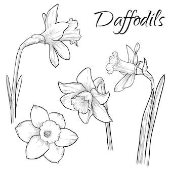I fiori del narciso hanno messo l'illustrazione disegnata a mano isolata di vettore