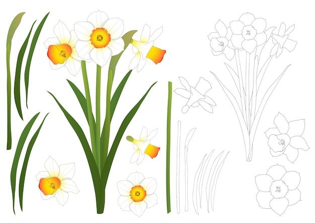 Narciso - profilo del narciso