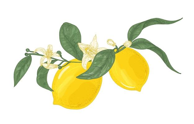 Disegno dettagliato del ramo della pianta di limone con fiori e foglie isolati su bianco