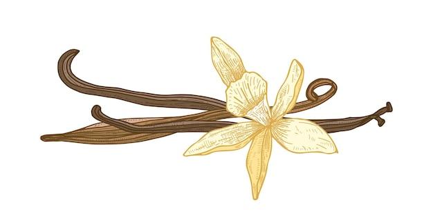 Disegno naturale dettagliato di fiori di vaniglia in fiore e frutti o baccelli isolati su bianco