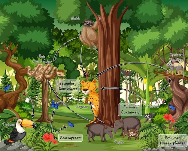 Diagramma che mostra la rete alimentare nella foresta pluviale