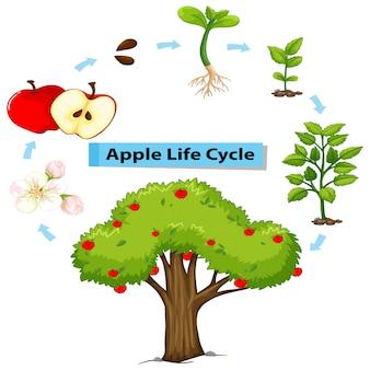 Diagramma che mostra il ciclo di vita della mela