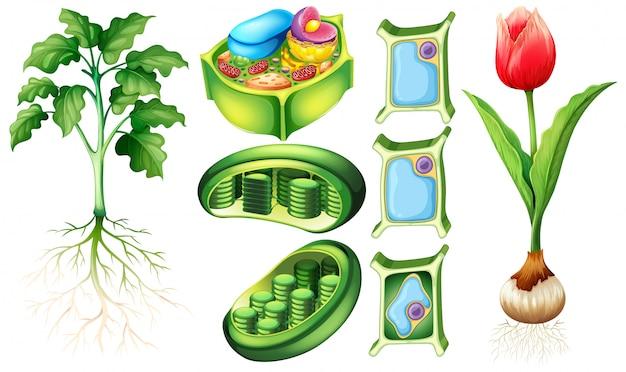 Diagramma che mostra la pianta e la cellula vegetale