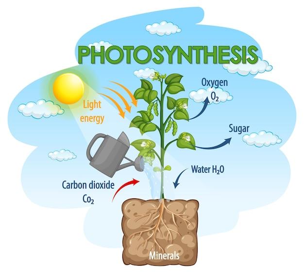 Diagramma che mostra il processo di fotosintesi nella pianta Vettore Premium