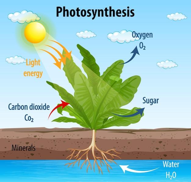 Diagramma che mostra il processo di fotosintesi nella pianta