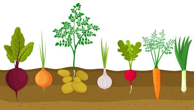Diversi ortaggi a radice che crescono sull'orto. piante che mostrano la struttura delle radici sotto il livello del suolo. barbabietole, cipolle, patate, aglio, ravanelli, carote