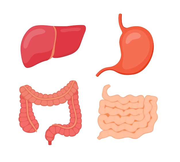 Organo digestivo fegato stomaco intestino crasso intestino tenue Vettore Premium