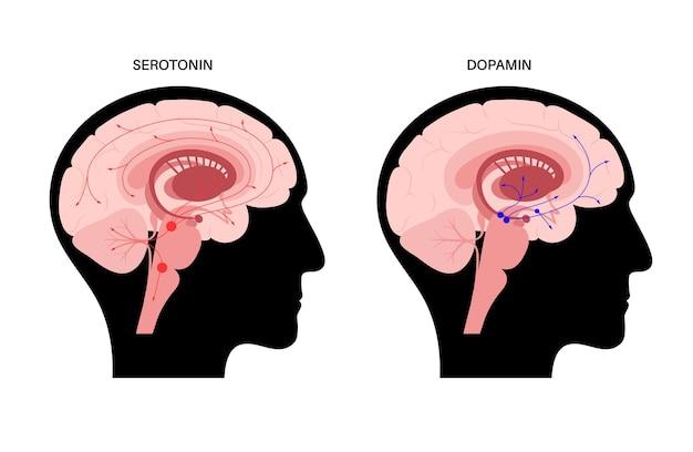 Via degli ormoni della dopamina e della serotonina nel cervello umano. vettore piatto del neurotrasmettitore della monoammina
