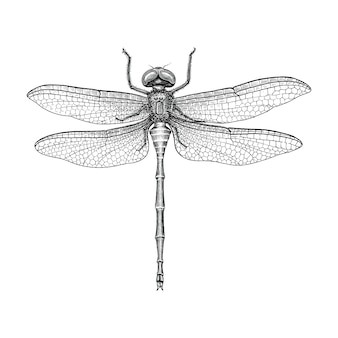 Illustrazione d'incisione d'annata del disegno della mano della libellula